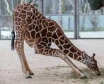 Giraffe by Fotostyle-Schindler