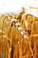 Gold wheat by Moyrah