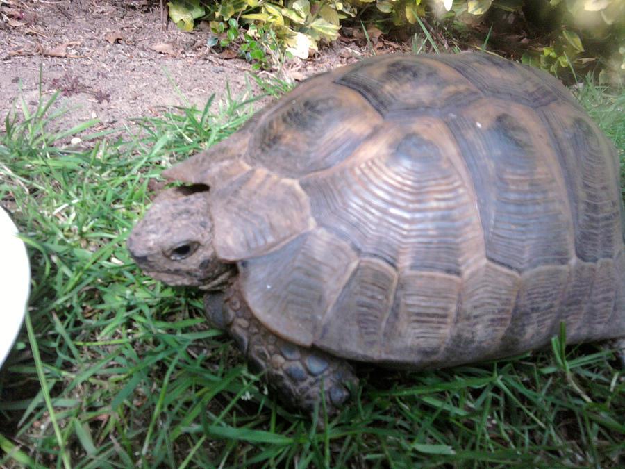 My pet tortoise Dennis by DarknessLegacy on DeviantArt