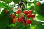 Unripe Cherries