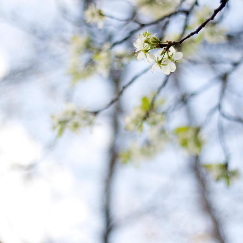 plum blossoms by jnnifr