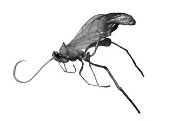 male mosquito by shaedsofgrey