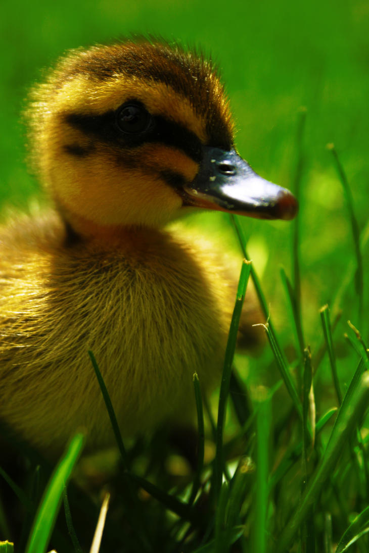 Neptune, My Amazing Baby Duck by GoldenZizia