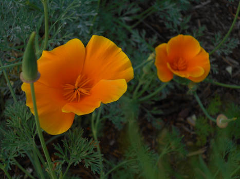 Two blooming poppies
