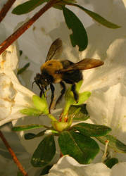 Carpenter Bee by flutteringonby