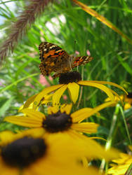 Painted Lady by flutteringonby