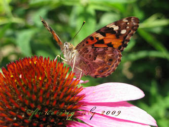 Painted Lady on a Flower by flutteringonby