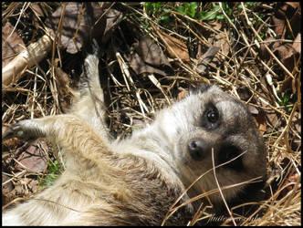 Meerkat by flutteringonby