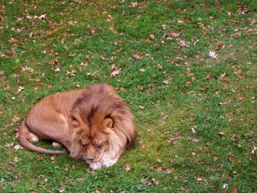 Fall Lion Asleep by nozominosetsuna