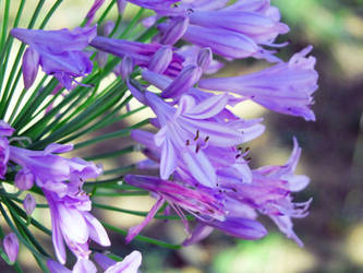 Agapanthus | Close Up of a big Plant | in Bloom by sk8art