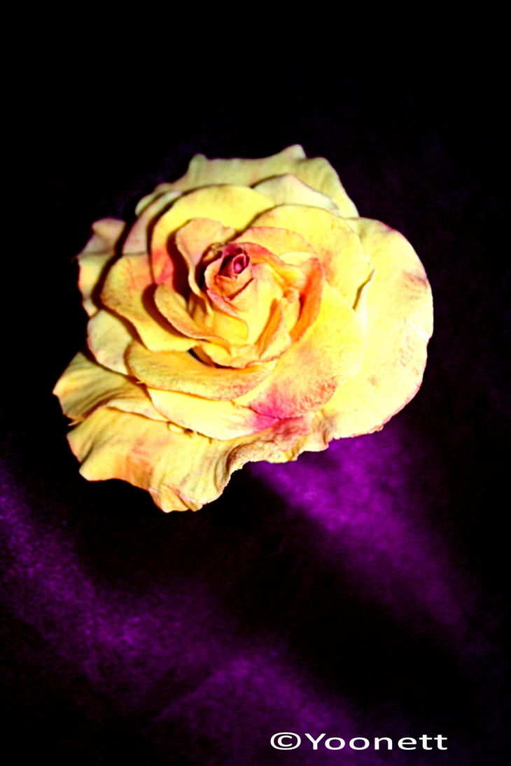 another yellow rose with by Yoonett