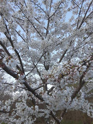 Dance of the Cherry Blossoms