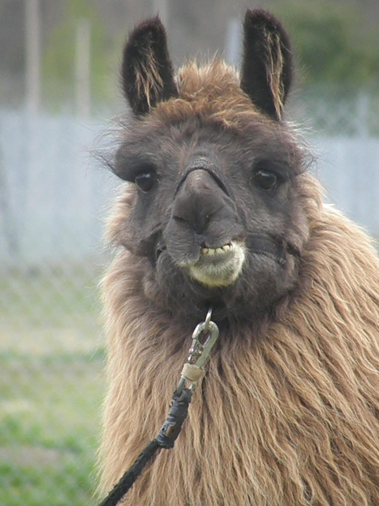 Image Gallery smiling llama