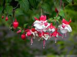 Fuchsia