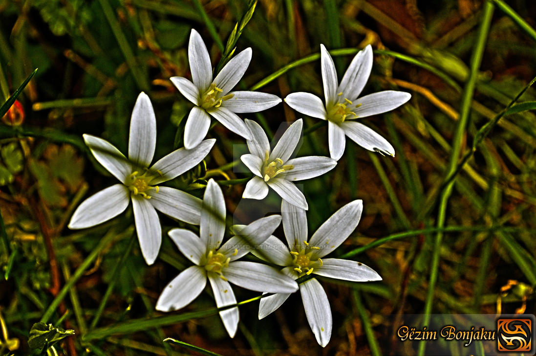 Wild white flowers by muhammed jetimi on deviantart wild white flowers by muhammed jetimi mightylinksfo