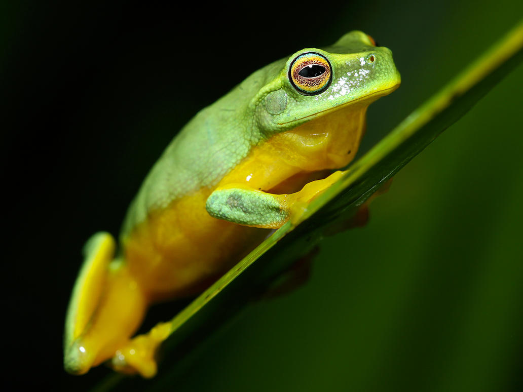Graceful tree frog 3 by JeremyRingma