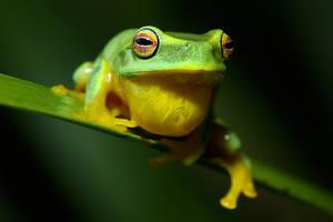Graceful tree frog 4 by JeremyRingma