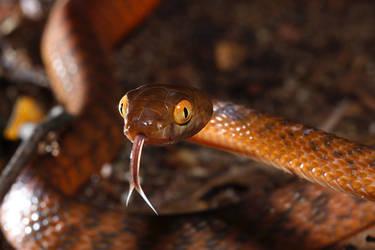 Brown tree snake by JeremyRingma