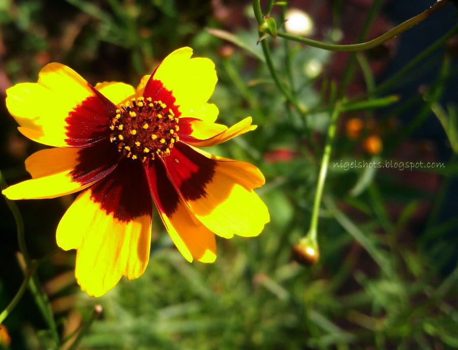little sun flower said good morning by nigeljoy on deviantart, Beautiful flower