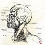 study - animuhead anatomy