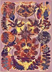 Haeckel Variation 8
