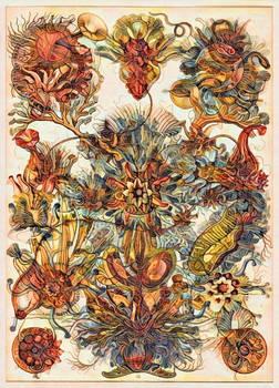 Haeckel Variation 14