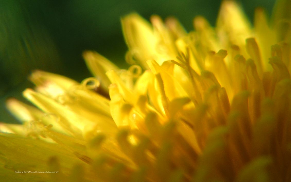 Dandilion at a Side View by PaMonk