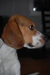 Spike the Beagle by idrilkeeps