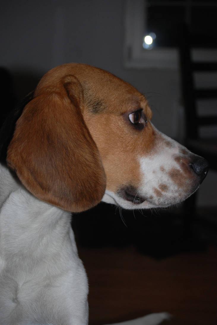 Spike the Beagle