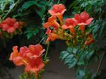 Trumpet Flowers 01