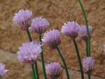 Purple Chives  004