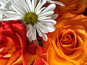 Tangerine kissed roses and white daisies 008