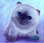 Himalayan Kitten