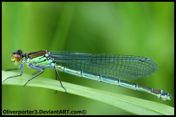 Damselfly by oliverporter3