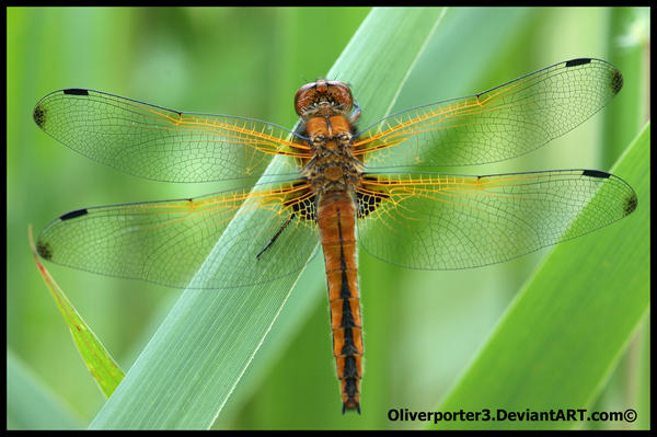 Scarce Chaser Dragonfly by oliverporter3