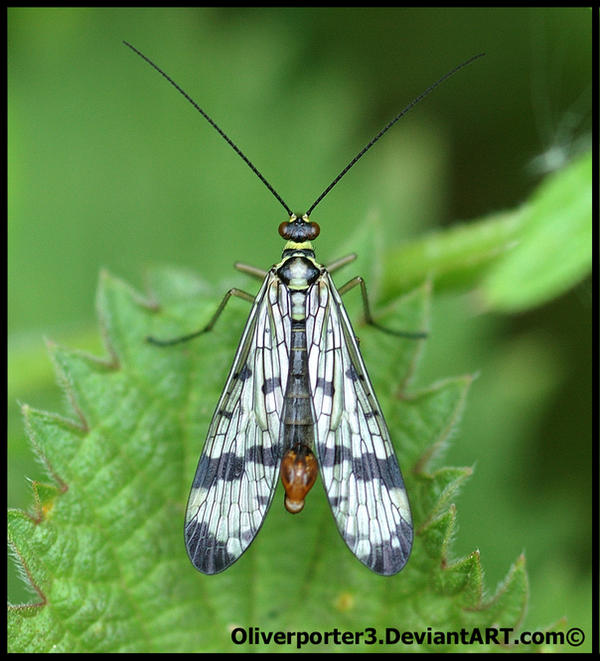 Scorpion Fly - Birds Eye View by oliverporter3