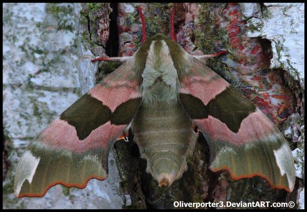 Lime Hawk Moth by oliverporter3