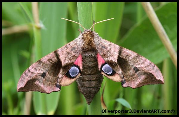 Eyed Hawk Moth by oliverporter3