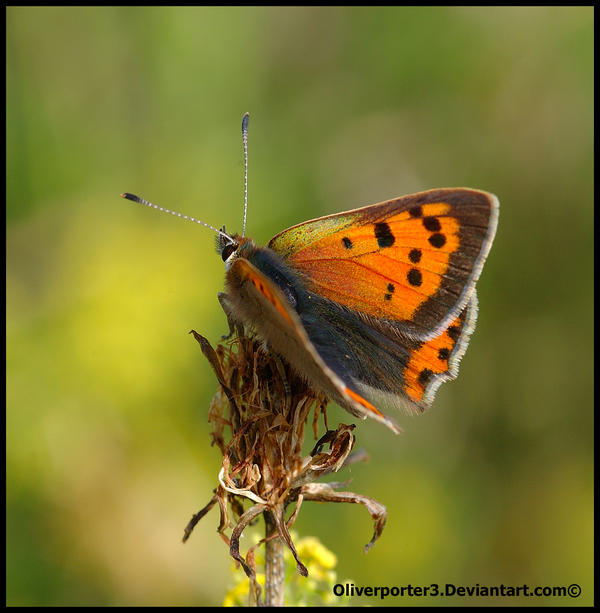 Small Copper Butterfly by oliverporter3