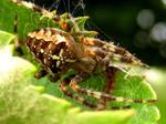 Orb Web Spider 2