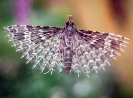 Twenty-plume Moth by IRIS-KUPP