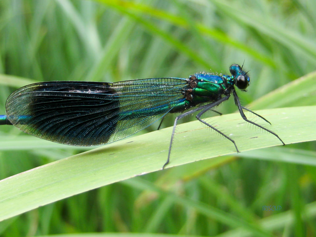Banded Demoiselle Damselfly by iriscup