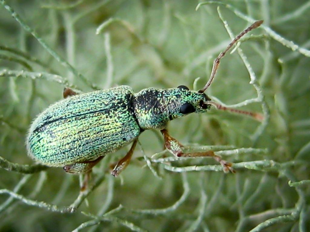 Green Weevil by IRIS-KUPP