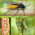 Sawfly Life Cycle