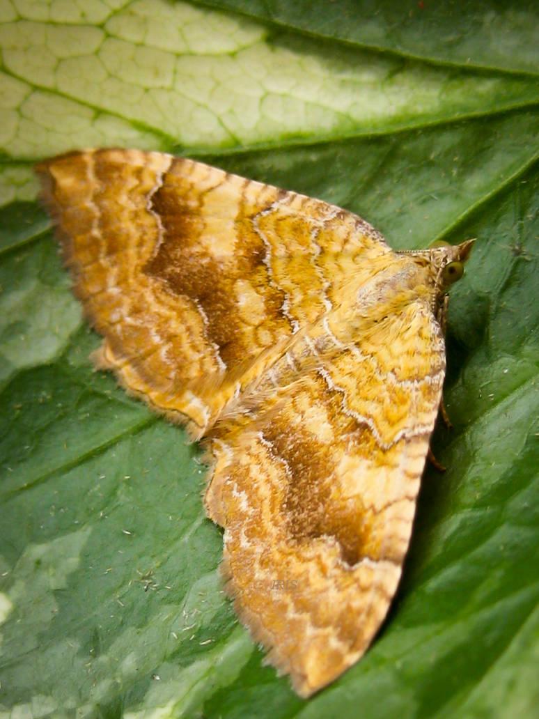 Yellow Shell Moth