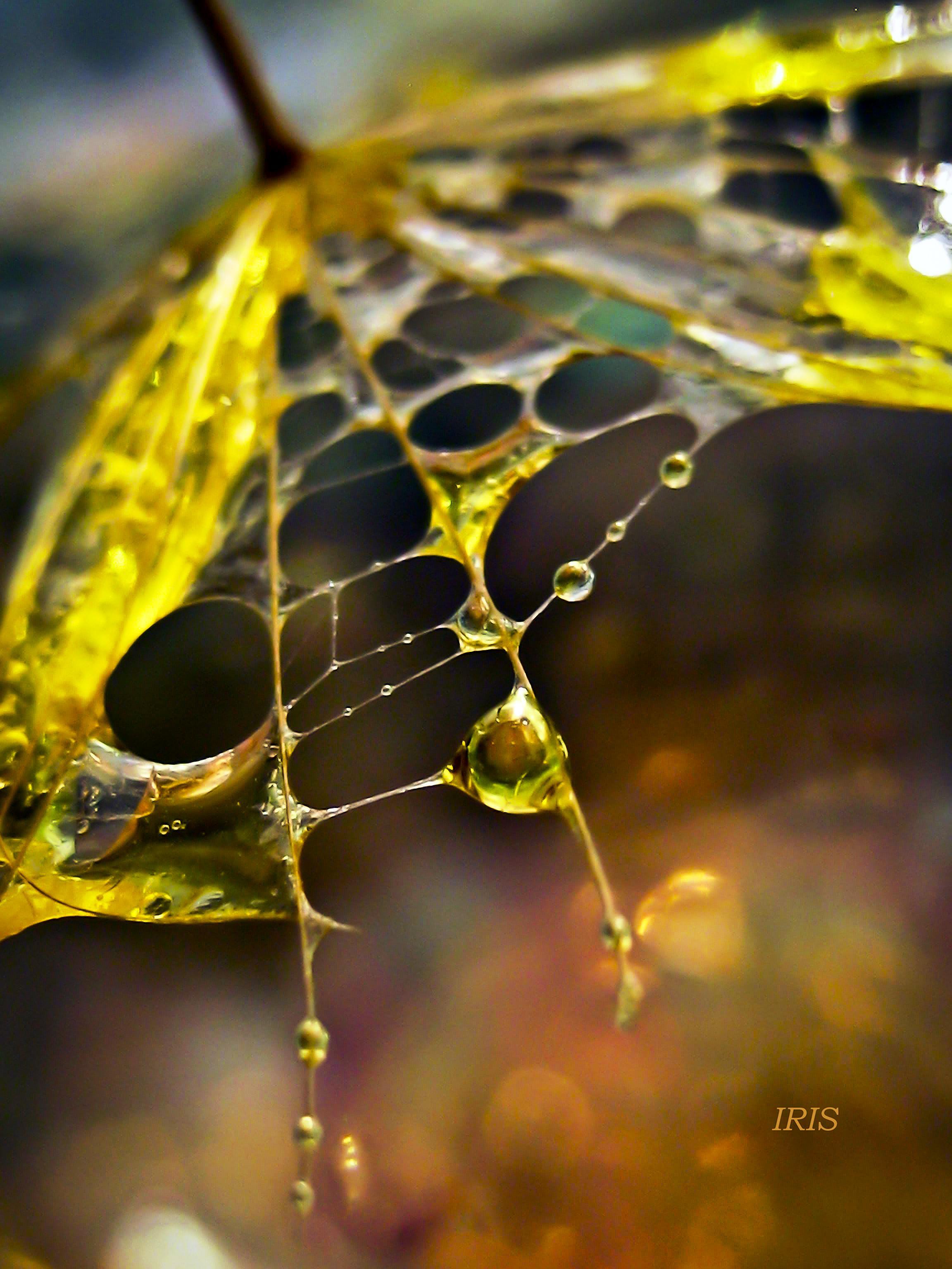 Olive Drop 2