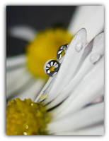 Daisy Drop by IRIS-KUPP