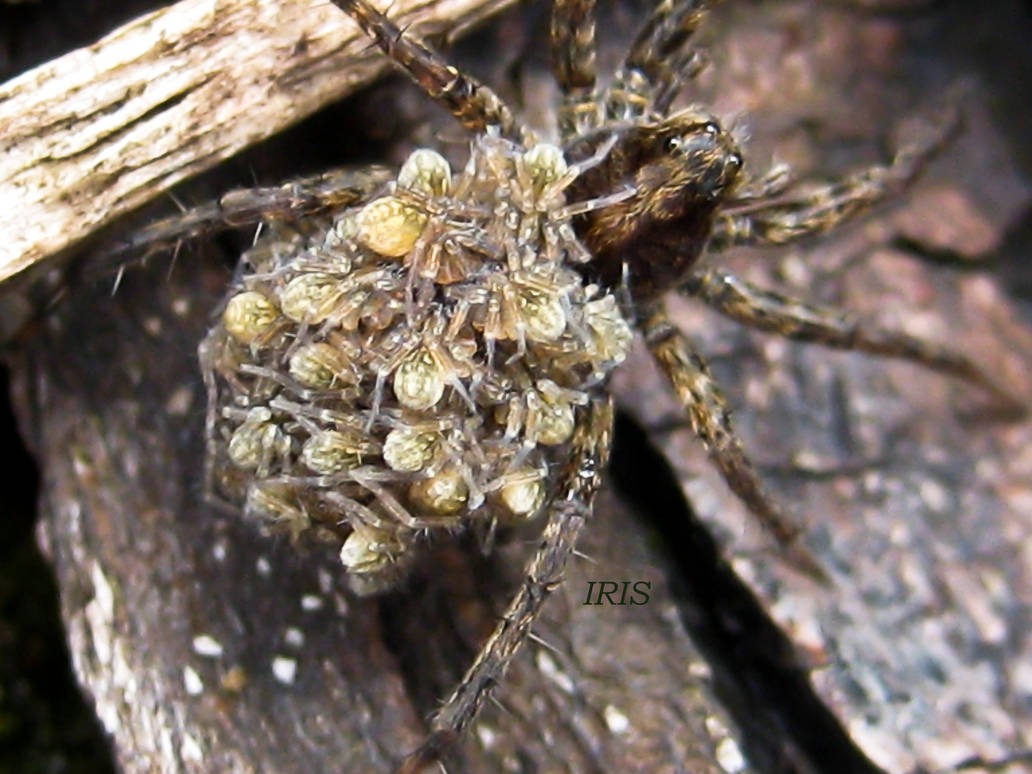 Wolf Spider with young 2