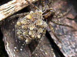Wolf Spider with young 2 by IRIS-KUPP