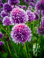 CHIVES by IRIS-KUPP